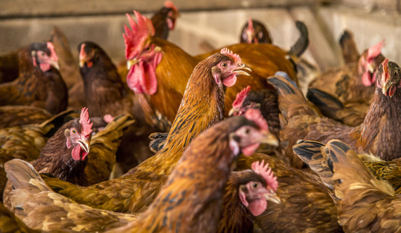 Step By Step Guide On How To Rear Broilers And Kienyeji